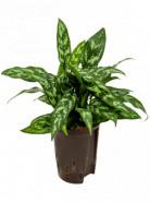 Aglaonema maria 15/19 v. 40 cm