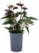 Anthurium black 15/19 cm v. 40 cm