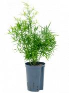 Asparagus falcatus 13/12 v. 35 cm