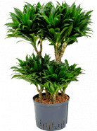 """Dracaena fragrans """"Compacta"""" 60-Carrousel 25/19 výška 100 cm"""