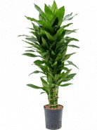 "Dracaena fragrans ""Janet Lind"" Branched multi 18/19 výška 90 cm"
