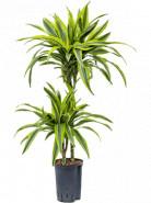 "Dracaena fragrans ""Lemon Lime"" 45-15 Pots. 15/19 výška 90 cm"