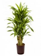 "Dracaena fragrans ""Lemon Lime"" branched multi 18/19 výška 100 cm"
