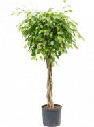 Ficus benjamina columnar Stem 22/19 v120