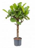 Ficus lyrata stem 25/19 v.160 cm