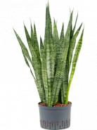 Sansevieria zeylanica 28/19 výška 95 cm