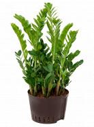 Zamioculcas zamiifolia Tuft 28/19 výška 50 cm
