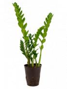 Zamioculcas zamiifolia 15/19 v60