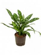 Aglaonema maria 13/12 cm v.30 cm