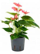 Anthurium andraeanum sweet dream bush pink 13/12 v. 30 cm