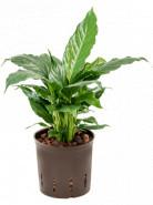 Spathiphyllum hybriden without flowers 13/12 v.35 cm