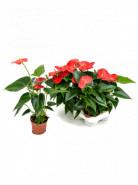 Anthurium andreanum Bambino red pots.9 v.30 cm