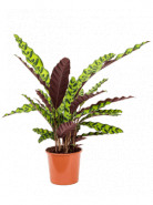 Calathea lancifolia insigne 17x65 cm