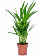 Areca chrysalidoc lutescens 12x45 cm
