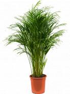 Dypsis Areca lutescens Tuft Pots. 27x190 cm