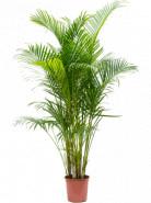Areca Dypsis lutescens 24x160 cm