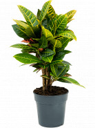 Kroton - Croton Codiaeum variegatum Petra Branched 19x60 cm