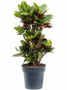 Croton (Codiaeum) variegatum Petra 27x90 cm