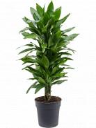 "Dracaena fragrans ""Janet Lind"" branched multi 24x110 cm"