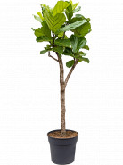 Ficus lyrata stem Pots. 34x160 cm
