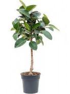 """Fikus - Ficus elastica """"Robusta"""" Stem 30x130 cm"""