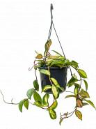 "Hoya carnosa ""tricolor"" hanger 14x20 cm"