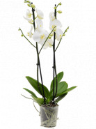 Phalaenopsis Lively Orchidea 2 Branches 12x65 cm