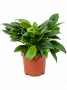 Philodendron Green Princess 12x25 cm