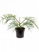 Philodendron Polypodioides Tortum Bush 19x45 cm