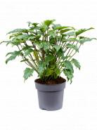 Philodendron xanadu 32x80 cm