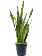 Sansevieria zeylanica 12x40 cm