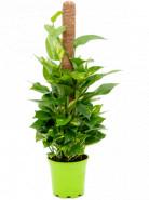 Scindapsus (Epipremnum) Aureum On moss pole 80 - 17x60 cm