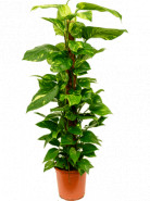 Scindapsus (Epipremnum) pinn. on moss-pole stlp 24x120 cm