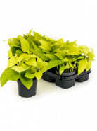 Scindapsus golden pothos 10/tray hanger pots 12 cm v.20cm