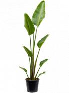 Strelitzia nicolai 28x180 cm