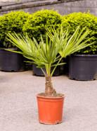 Trachycarpus fortunei 25x140 cm
