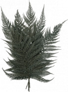 Briljantfern bush 40 cm