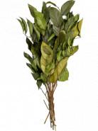 Salal bush 55 cm
