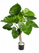 Alocasia calidora Tuft 80 cm