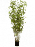 Bamboo bambus oriental Tuft 100 cm