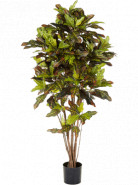 Croton exellent Branched 120cm