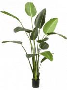 Heleconia in plastic pot v.125 cm