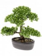 Bonsai ficus mini on plate brown 32 cm