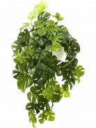 Monstera hanging bush rt green 50 cm