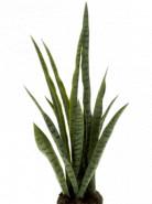 Sansevieria Plant soiled 80 cm