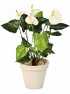Anthurium de luxe cream 56cm