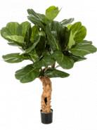Ficus lyrata forest trunk výška 110 cm