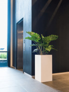 Alocasia portodora 24x130 cm