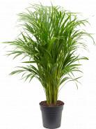 Dypsis (Areca) lutescens 21x90 cm