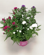 Aster - Astra Showmakers mix farieb 12x20 cm